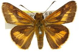 Image of <i>Telicota eurotas</i> Felder 1860