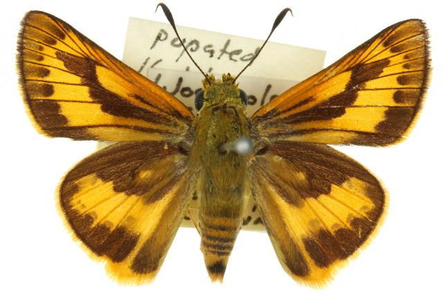 Image of <i>Cephrenes trichopepla</i> Lower 1908