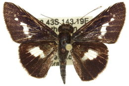 Image of <i>Sabera caesina</i> Hewitson 1866