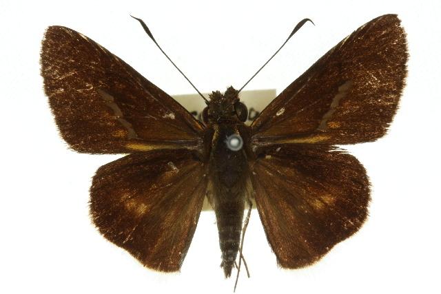 Image of <i>Sabera fuliginosa</i> Miskin 1889
