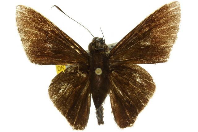 Image of <i>Mimene atropatene</i> Fruhstorfer 1911