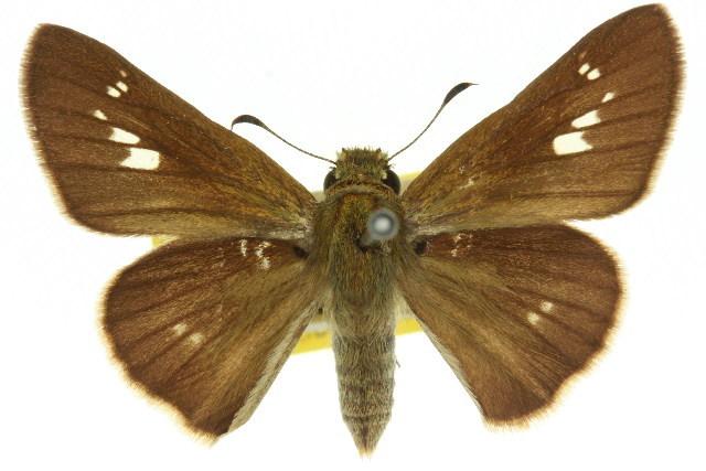 Image of <i>Parnara bada</i> Moore 1878