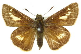 Image of <i>Parnara amalia</i> Semper 1879