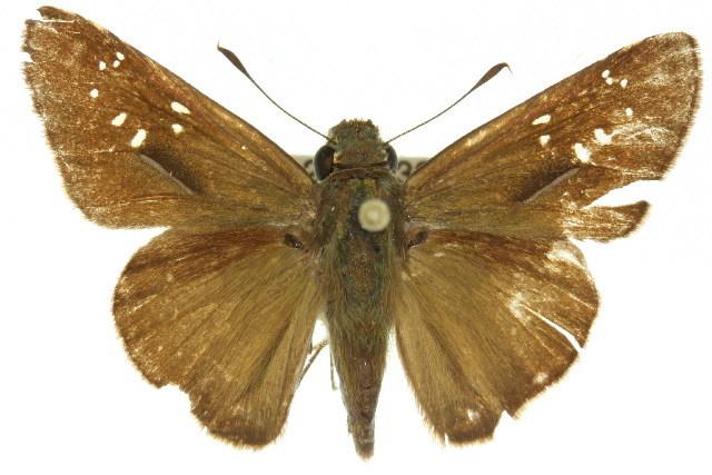 Image of <i>Pelopidas lyelli</i> Rothschild 1915