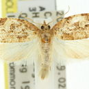 Image of <i>Adoxophyes fasciculana</i> Walker 1866