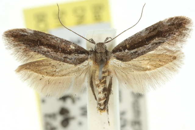 Image of <i>Macrobathra embroneta</i> Turner 1932