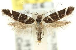 Image of <i>Macrobathra constrictella</i> Walker 1864