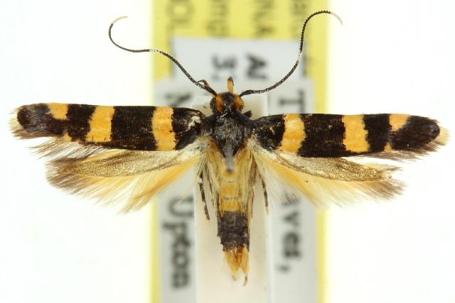 Image of <i>Limnaecia</i>