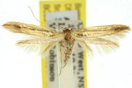 Image of <i>Haplochrois</i>