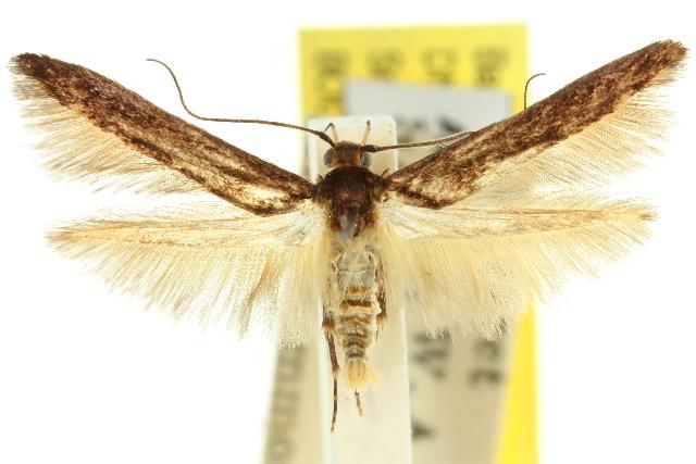 Image of <i>Leptozestis</i>