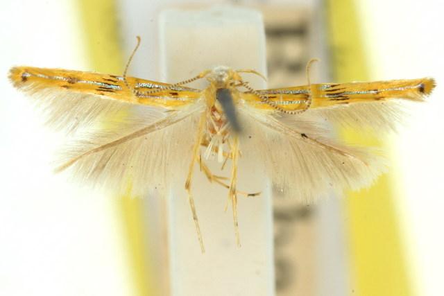 Image of <i>Labdia ceraunia</i>