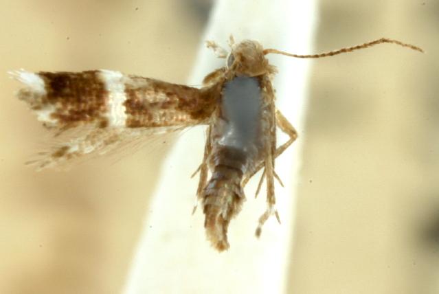 Image of <i>Tinagma leucanthes</i> Meyrick 1897