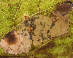 539.antvi 18658 2011253 3 antispila sp vitis larva leafmine 1322602148 jpg.260x190