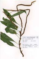 Image of snakefern