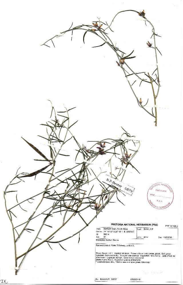 Image of Gentianales