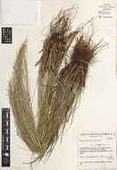 Image of speargrass