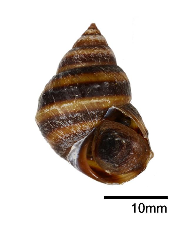 Image of <i>Taia pseudoshanensis</i> Zilch 1955