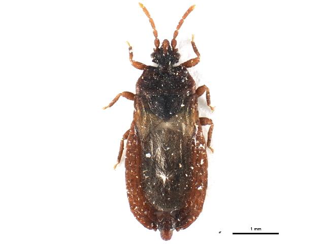 Image of <i><i>Aneurus</i></i> (Aneurus) <i>laevis</i> (Fabricius 1775)