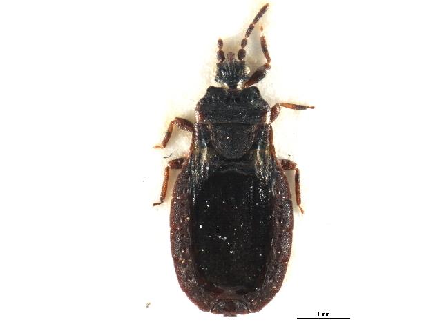 Image of <i>Aneurus avenius</i> (Dufour 1833) Dufour 1833