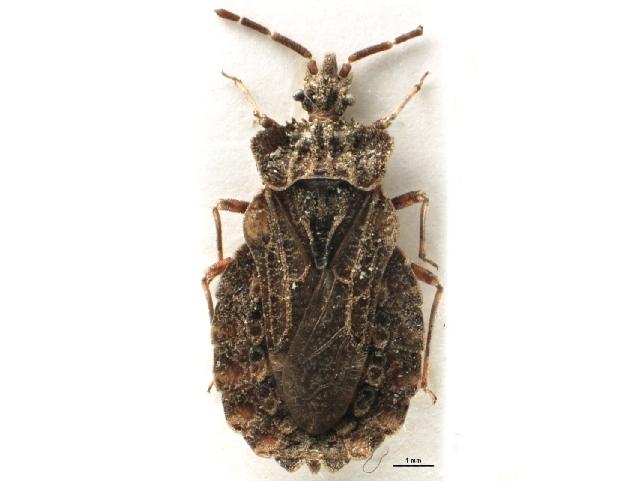 Image of <i>Aradus conspicuus</i> Herrich-Schaeffer 1835