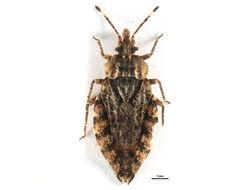 Image of <i><i>Aradus</i></i> (Aradus) <i>betulae</i> (Linnaeus 1758)