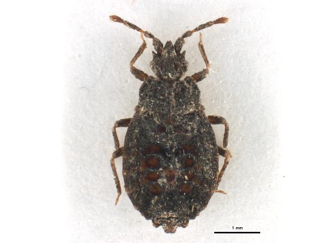 Image of <i>Afropictinus kahuzianus</i>