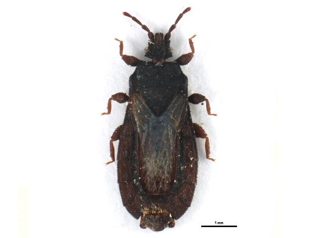 Image of <i>Neuroctenus hyalinipennis</i> Kormilev 1971