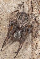 Image of Gibbaranea