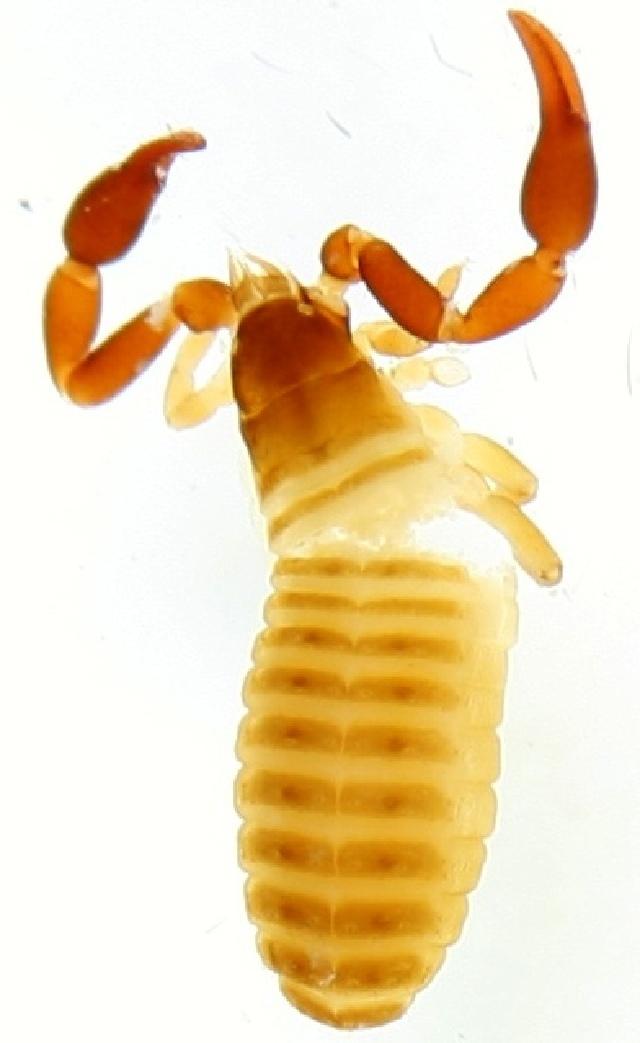 Image of Dactylochelifer