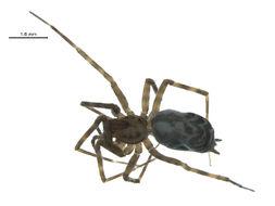 Image of <i>Calymmaria nana</i> (Simon 1897)