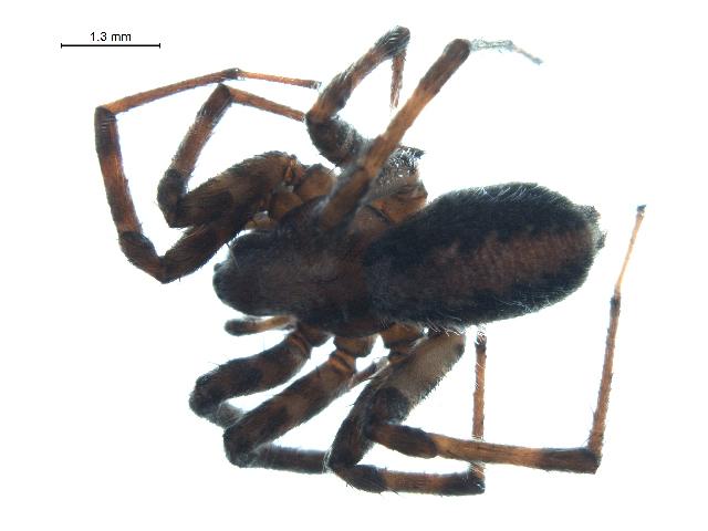 Image of <i>Novalena intermedia</i> (Chamberlin & Gertsch 1930)