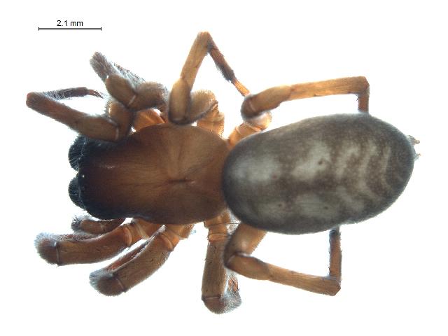 Image of <i>Callobius enus</i> (Chamberlin & Ivie 1947)