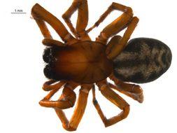 Image of <i>Callobius canada</i> (Chamberlin & Ivie 1947)