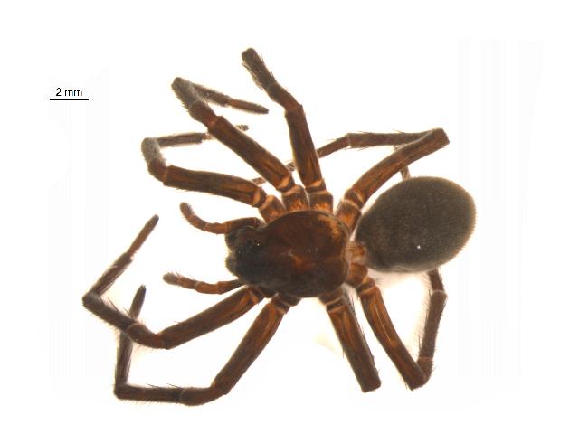 Image of <i>Melocosa fumosa</i> (Emerton 1894)