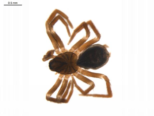 Image of <i>Hahnia ononidum</i> Simon 1875