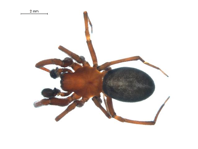 Image of <i>Titanoeca nigrella</i> (Chamberlin 1919)