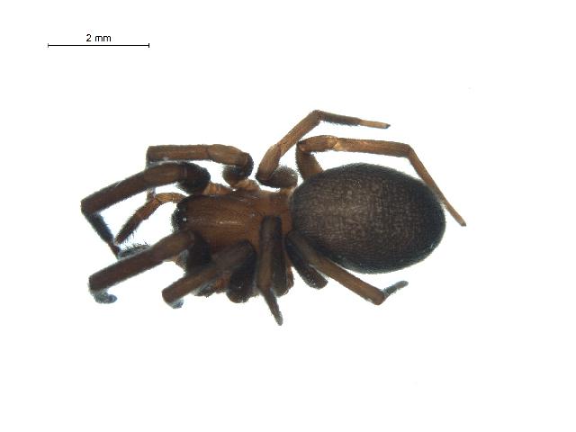 Image of <i>Titanoeca nivalis</i> Simon 1874