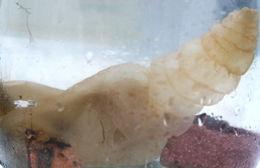 Image of Lucernariidae