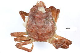 Image of Great spider crab