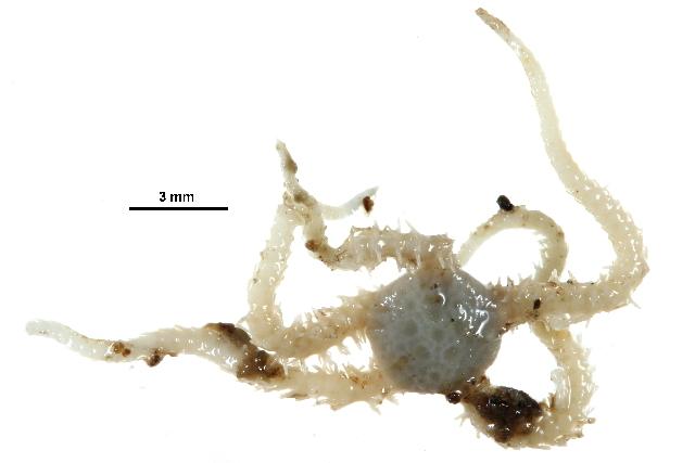 Image of <i>Ophiopus</i>
