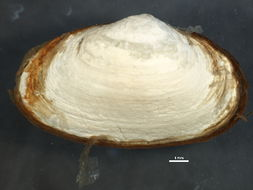 Image of Soft shelled clam