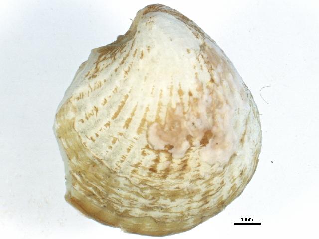 Image of Ciliatocardium