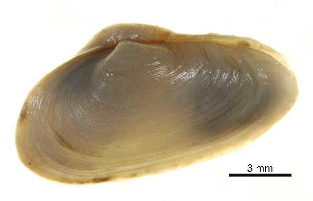 Image of <i>Mya truncata</i> Linnaeus 1758
