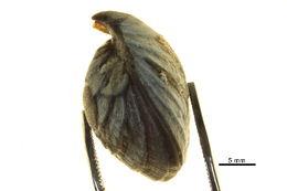 Image of <i>Hemithiris psittacea</i> (Gmelin 1791)