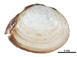 Image of <i>Macoma <i>balthica</i></i> balthica