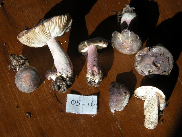 Image of <i>Russula</i>