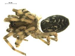 Image of <i>Coras montanus</i> (Emerton 1890)