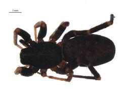 Image of <i>Castianeira variata</i> Gertsch 1942