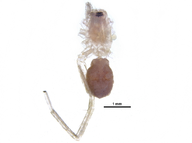 Image of Gertsch antmimic