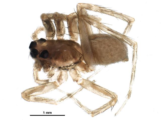 Image of <i>Trabeops aurantiacus</i> (Emerton 1885)